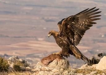 18 GOLDEN EAGLE WITH PREY by Glenn Welch
