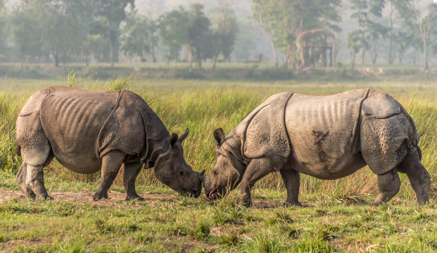16 MALE RHINOCERUS UNICORNIS MEET by Alan Cork