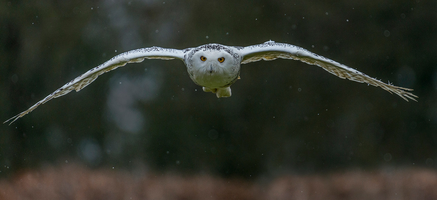 19 SNOWY OWL IN THE SNOW by Alan Cork