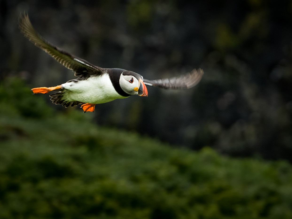 17 SWOOPING PUFFIN by David Godfrey