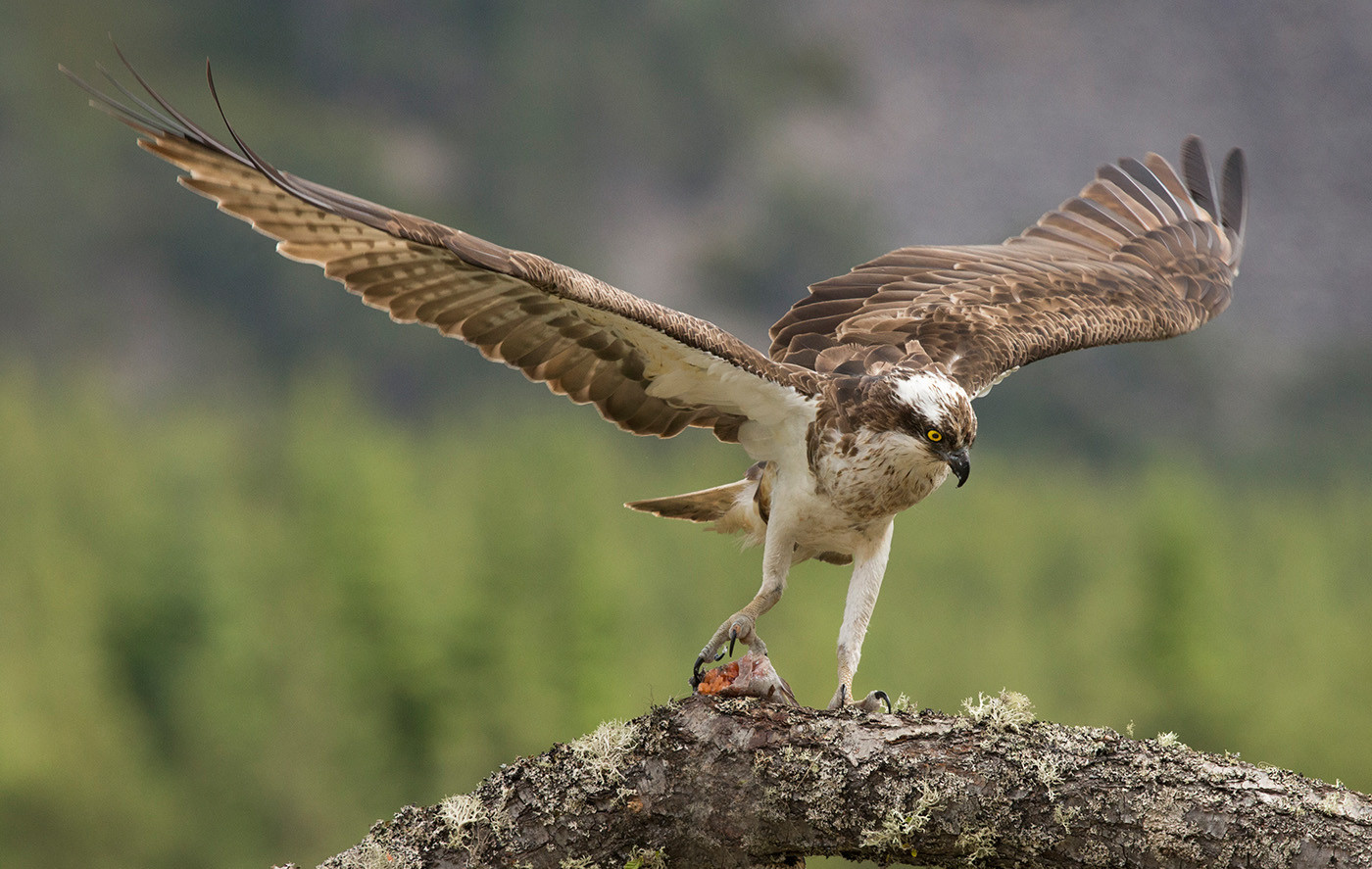 18 OSPREY FINISHING CATCH by John Hunt
