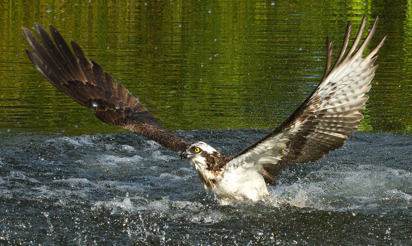 20 OSPREY COMING OUT OF A PLUNGE CATCH by John Hunt