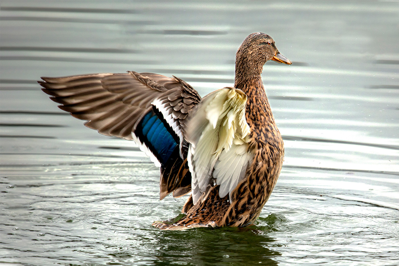 16 (PRINT) MALLARD FEMALE by Philip Easom
