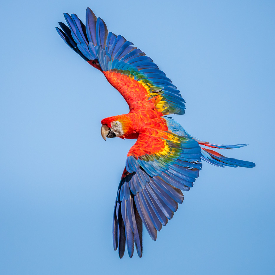 16 SCARLET MACAW PREPARING TO LAND by David Godfrey