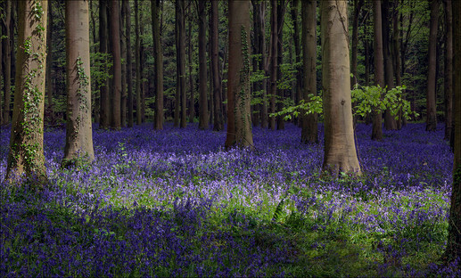 BLUEBELLS WOODS by Mike Hart