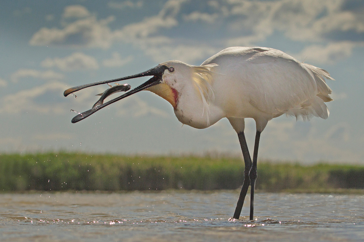 20 (4th) SPOONBILL CATCH by John Hunt