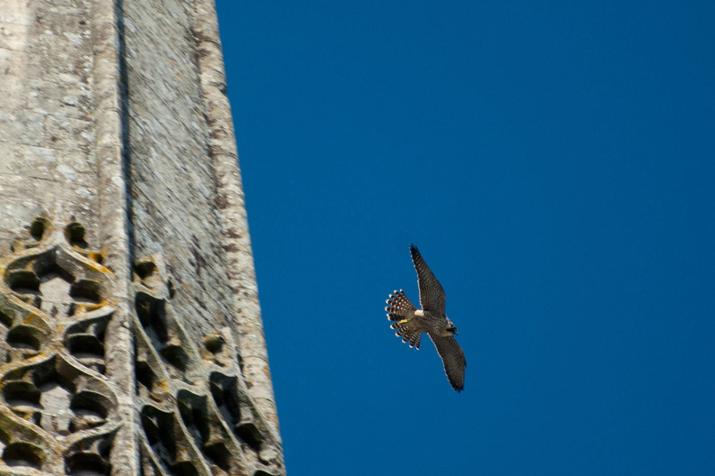 PEREGUINE FALCON AT CHICHESTER CATHEDRAL by Keith Noakes