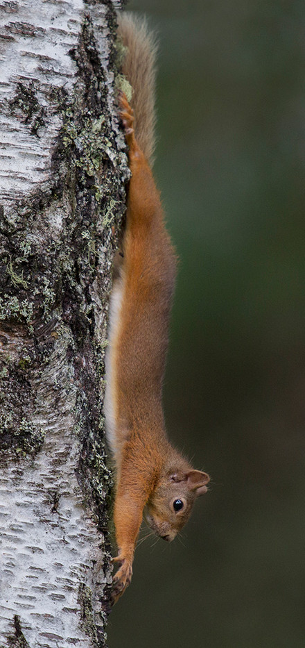 Group 1 20 RED SQUIRREL AT FULL STRETCH by John Hunt