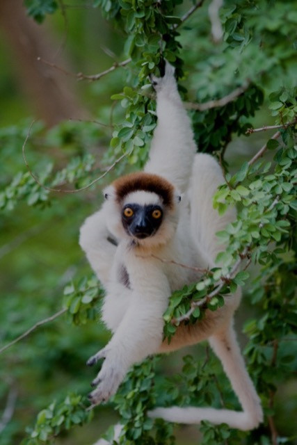 18 VERRAUX'S SIFAKA by Simon Lane
