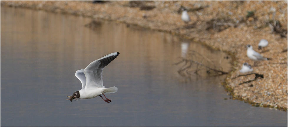 16 BLACK HEADED GULL WITH NESTING MATERIAL by Colin Burgess