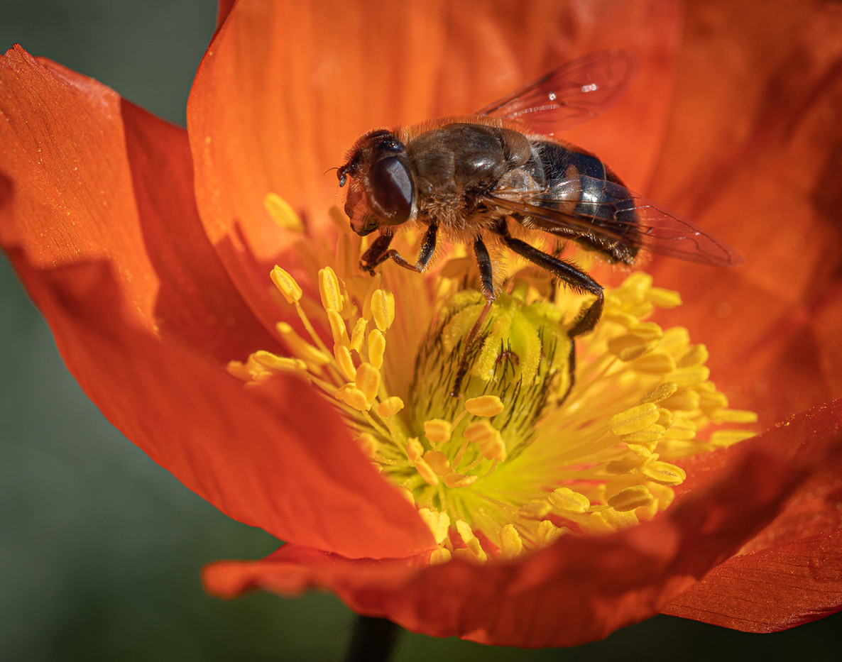 16 HOVERFLY ON ICELAND POPPY by Roger Wates