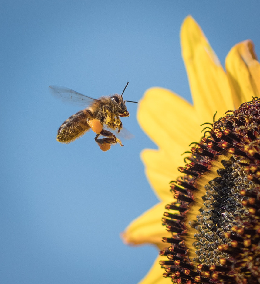 18 HONEY BEE AT WORK by Roger Wates