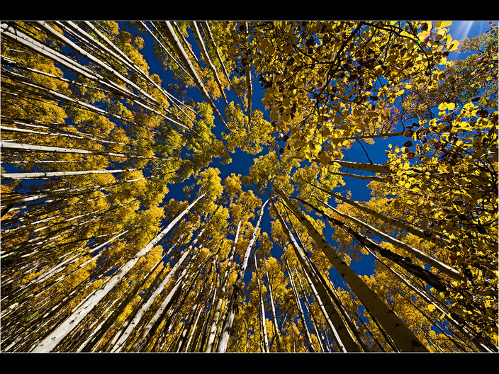 GROUP 1 17 GAZING UP AT ASPENS by Cathie Agates