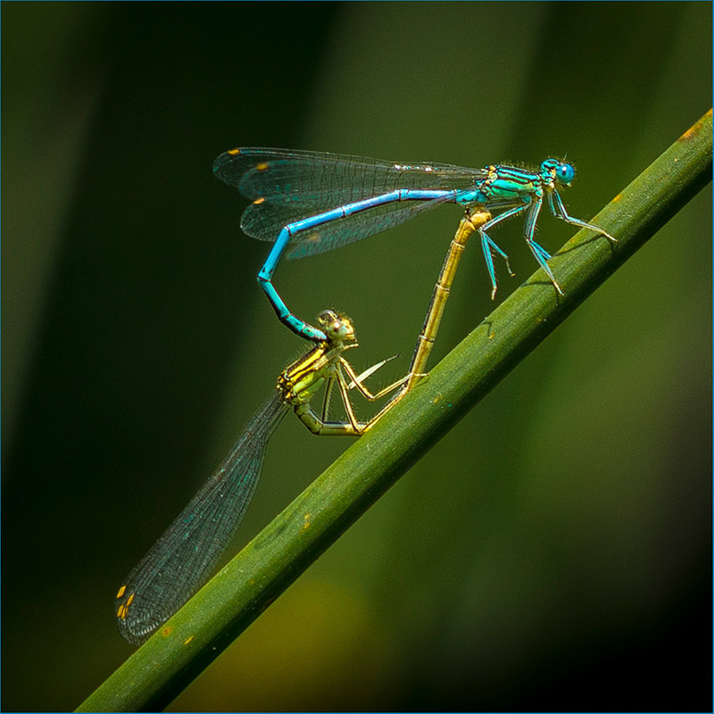 20 MATING DAMSEL FLIES by Sonia Peek