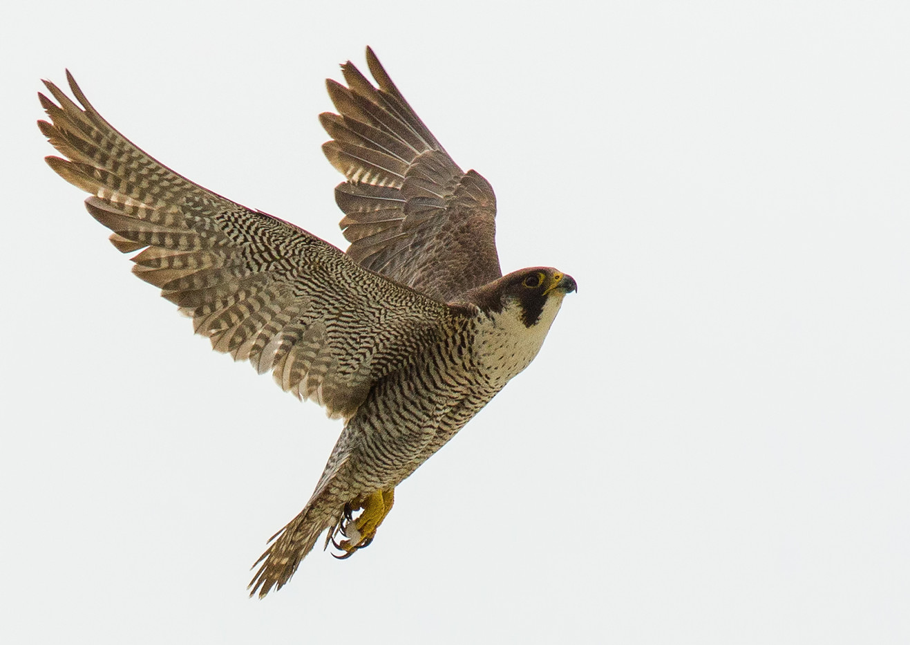 16 PEREGRINE FALCON by Glenn Welch