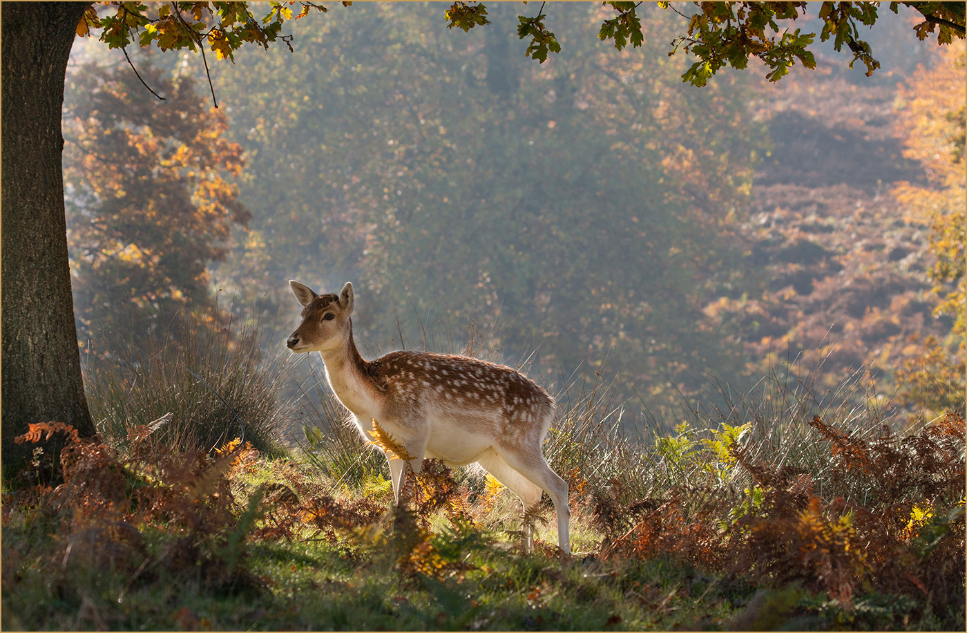 19 DOE IN THE DELL by Colin Burgess