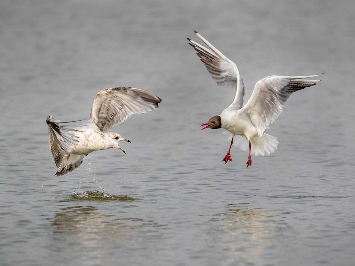 17 AGGRESSIVE GULLS by David Godfrey
