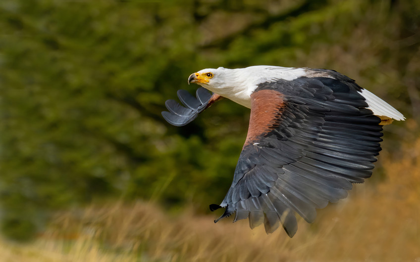 20 AFRICAN FISH EAGLE by Bill Wheeler