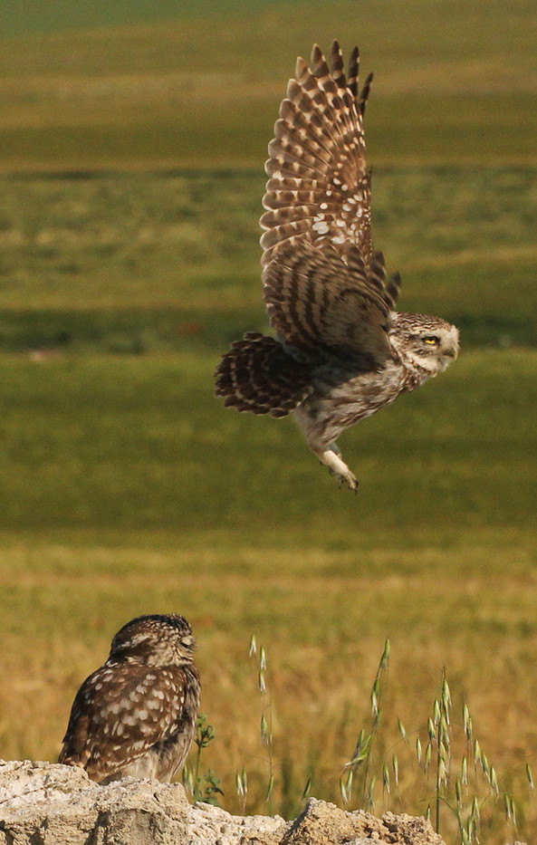 19 LITTLE OWLS PREPARING TO MEET by John Hunt