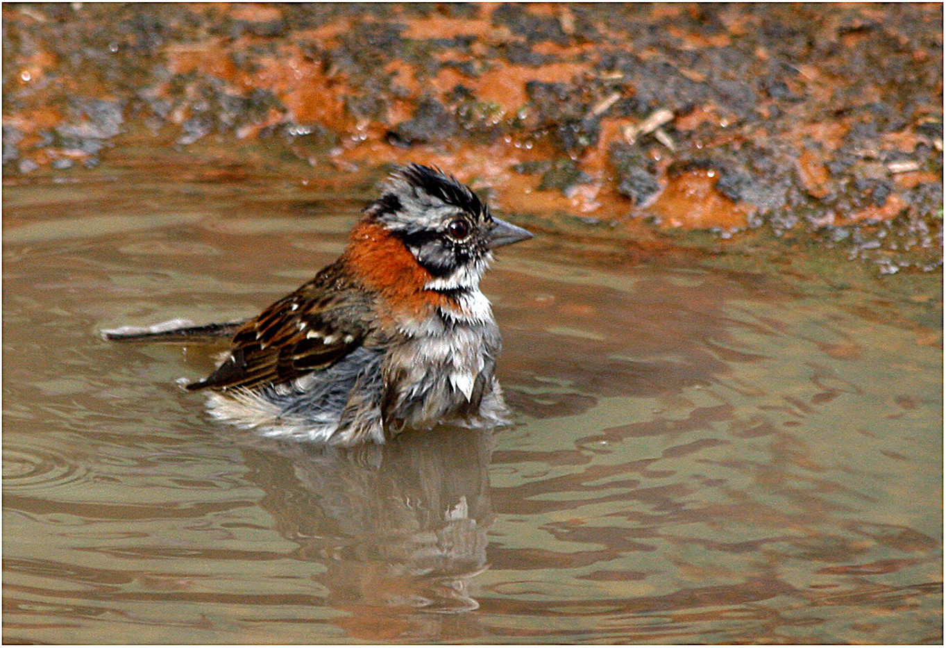 GROUP 2 17 RUFOUS COLLARED SPARROW COOLING OFF by Muffi Forbes