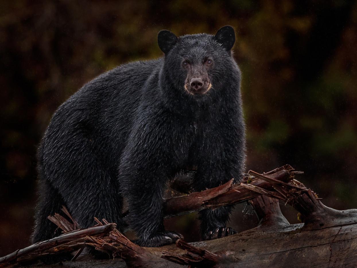 17 WILD BLACK BEAR OUT IN THE RAIN by David Godfrey