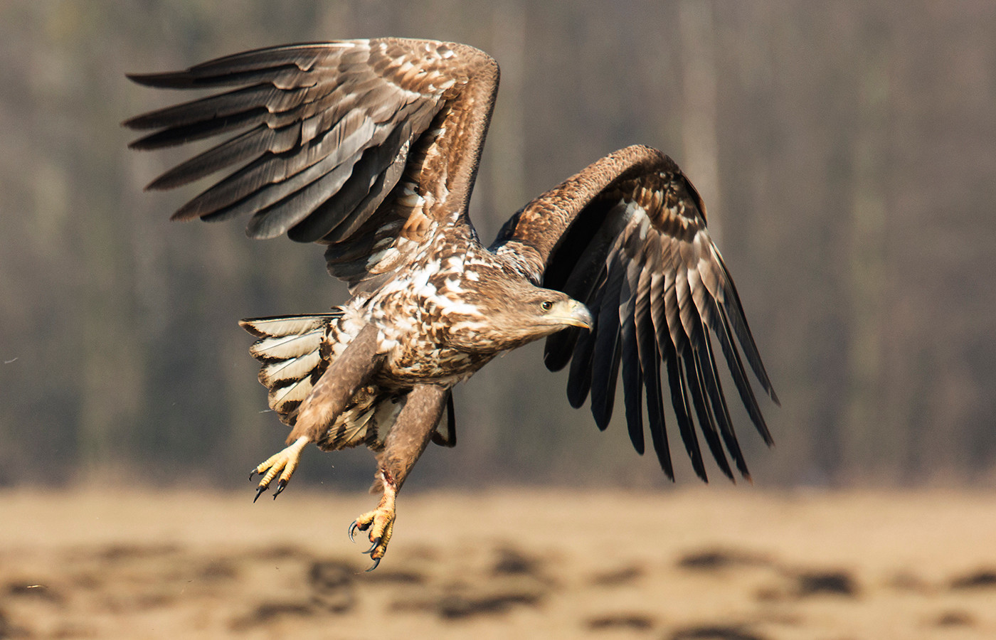 18 WHITE TAILED EAGLE AT SPEED by John Hunt