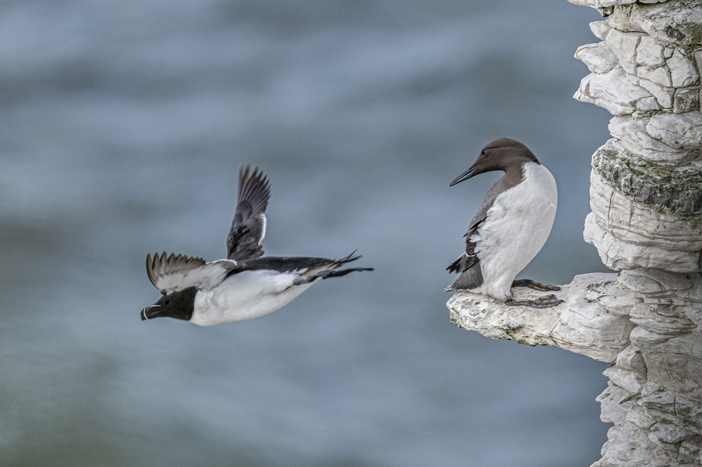 17 CURIOUS GUILLEMOT by Alan Cork