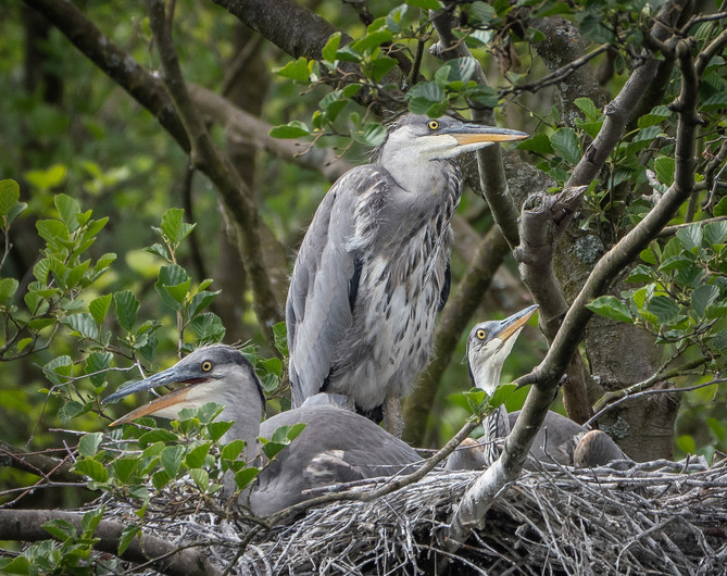 17 THREE YOUNG HERONS by Roger Wates