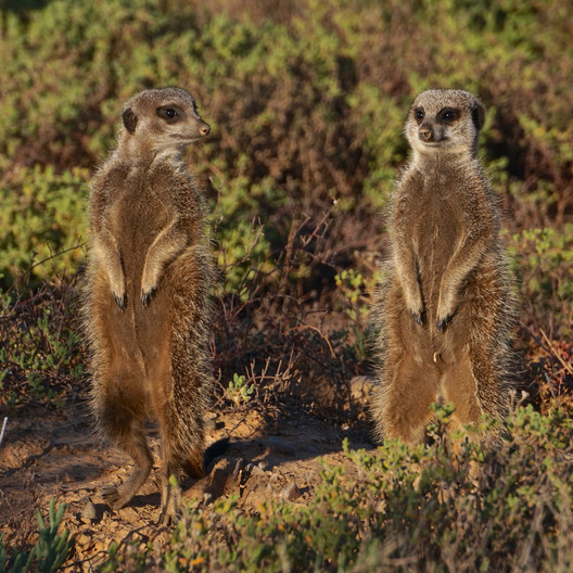 15 MEERKATS ON GUARD DUTY by Ron Gaisford