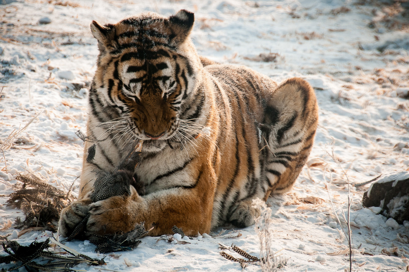 18 SIBERIAN TIGER by Chelin Miller