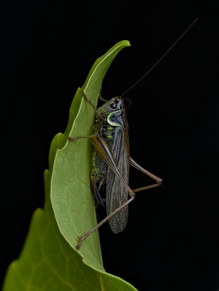 ROESEL'S BUSH CRICKET by Alan Cork