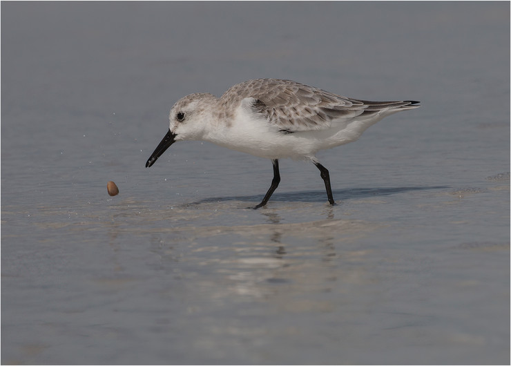 19 SNOWY PLOVER TOSSING PEBBLE WHILST FORAGING by Colin Burgess