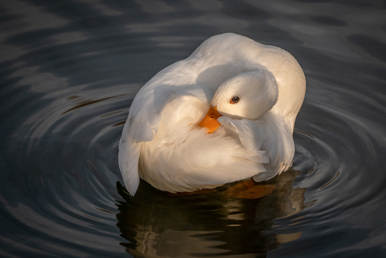 19 WHITE CALL DUCK by Roger Wates