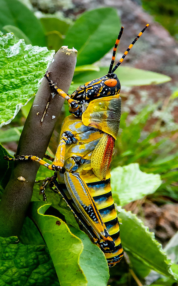 16 (PRINT) ELEGANT GRASSHOPPER by David Parkinson