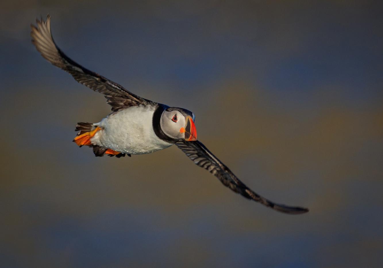 20 PUFFIN IN FLIGHT AT LAST LIGHT by David Godfrey