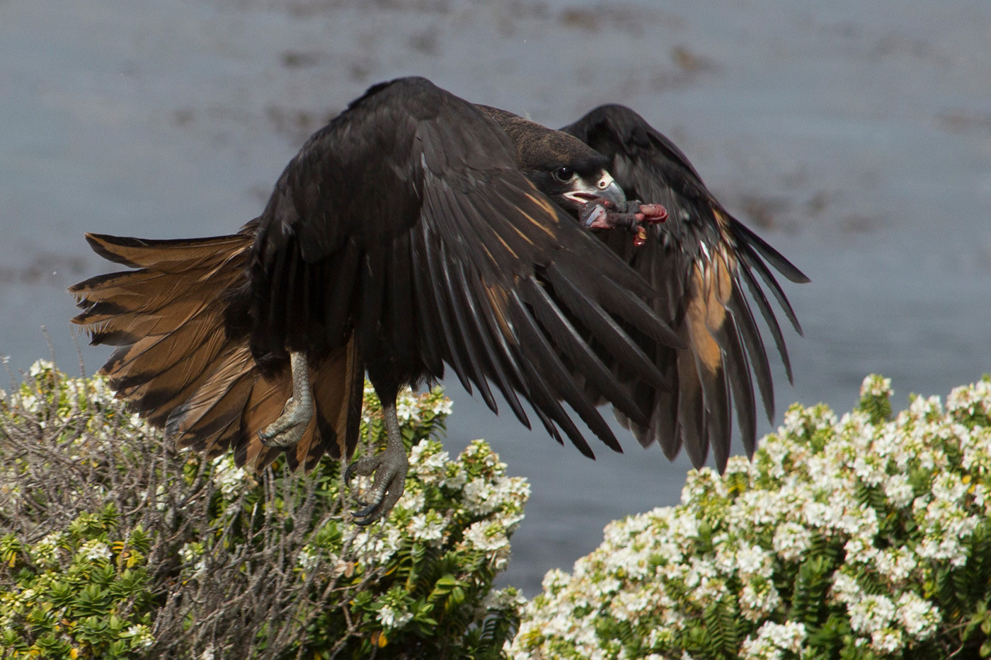 GROUP 1 19 CARACARA WITH CORMORANT CHICK by John Hunt