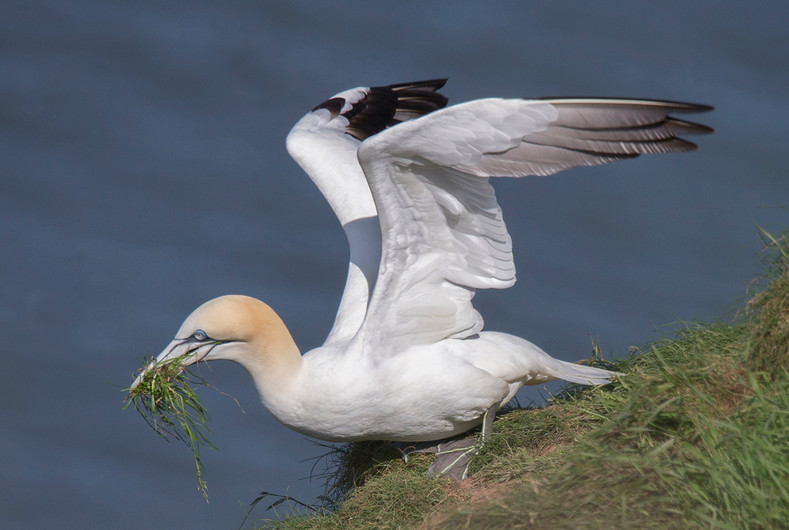 17 GANNET COLLECTING NEST MATERIAL by John Hunt