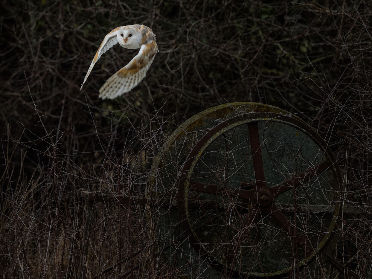 20 A BARN OWL TAKES FLIGHT AS IT STARTS TO SNOW by David Godfrey