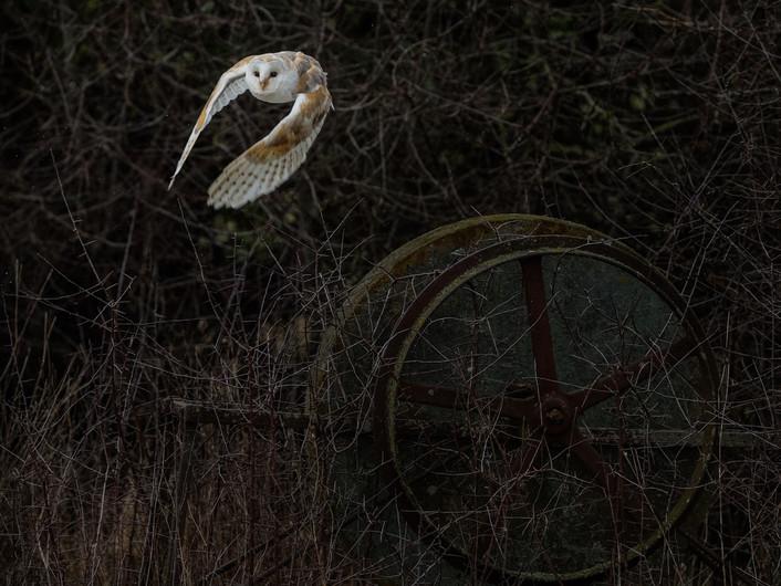 20 A BARN OWL TAKES FLIGHT AS IT STARTS TO SNOW by David Godfrey