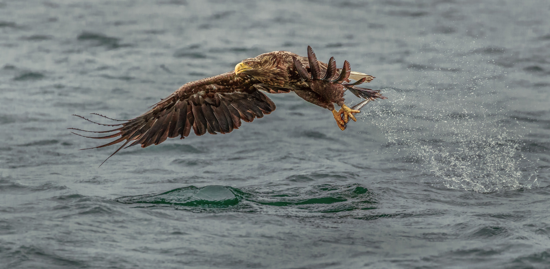 19 WHITE TAILED EAGLE WITH CATCH by David Godfrey
