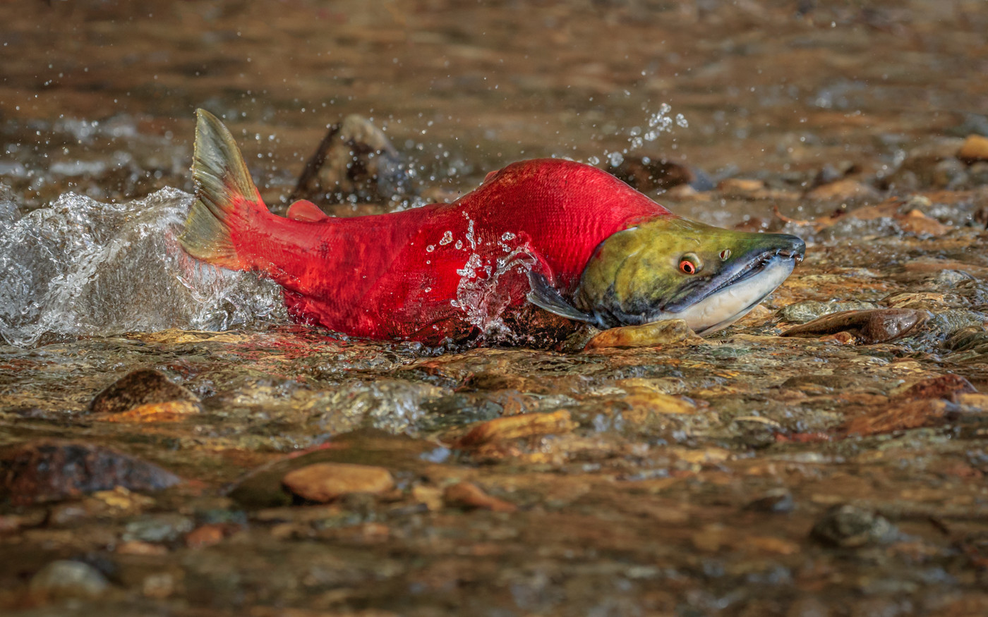 20 (PRINT) MALE SOCKEYE SALMON ON ITS LAST JOURNEY UPSTREAM TO SPAWN  by David Godfrey
