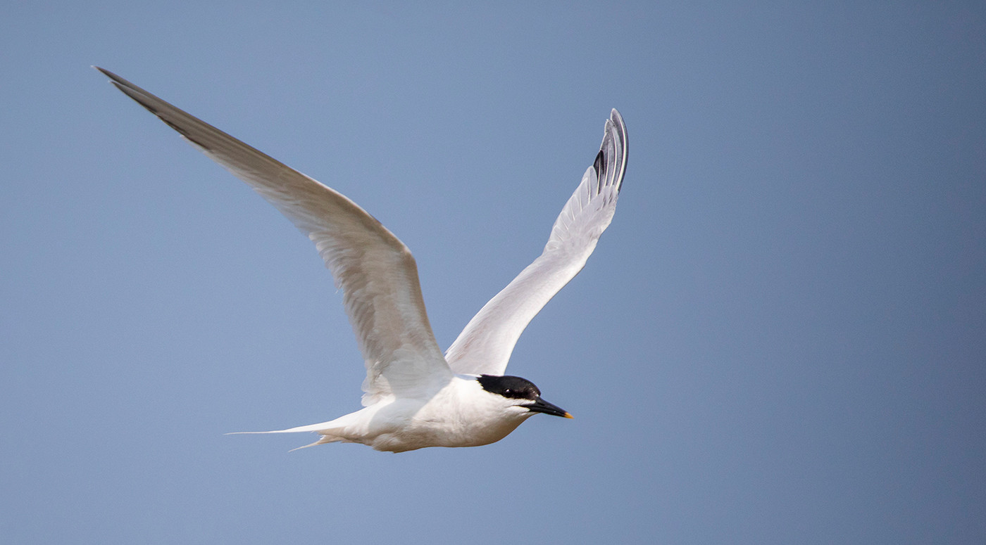 19 SANDWICH TERN by Philip Easom.