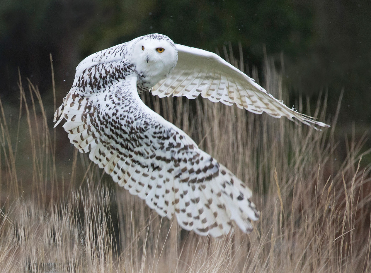 19 SNOWY OWL HUNTING AT DUSK  by John  Hunt