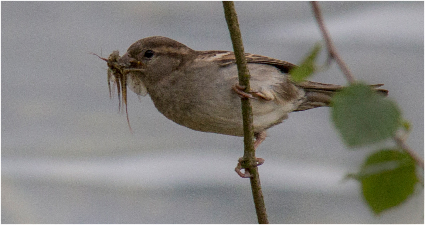 15 SPARROW WITH A MOUTHFUL by Colin Burgess