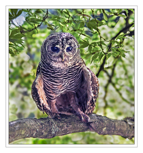 12 YOUNG AMERICAN BARRED OWL by Mike Shave