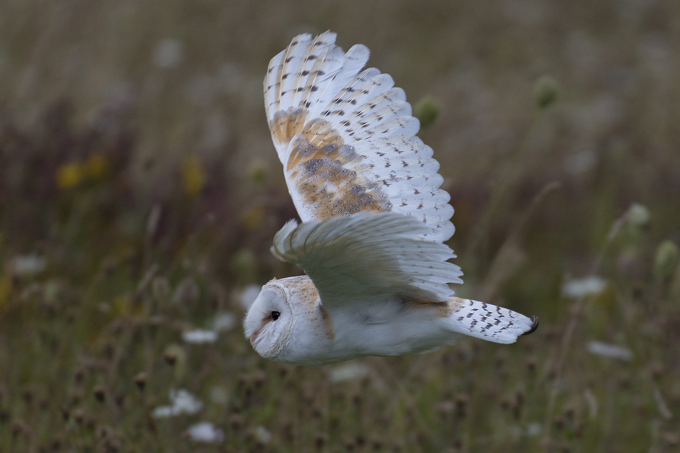 16 BARN OWL IN FLIGHT by Alan Cork