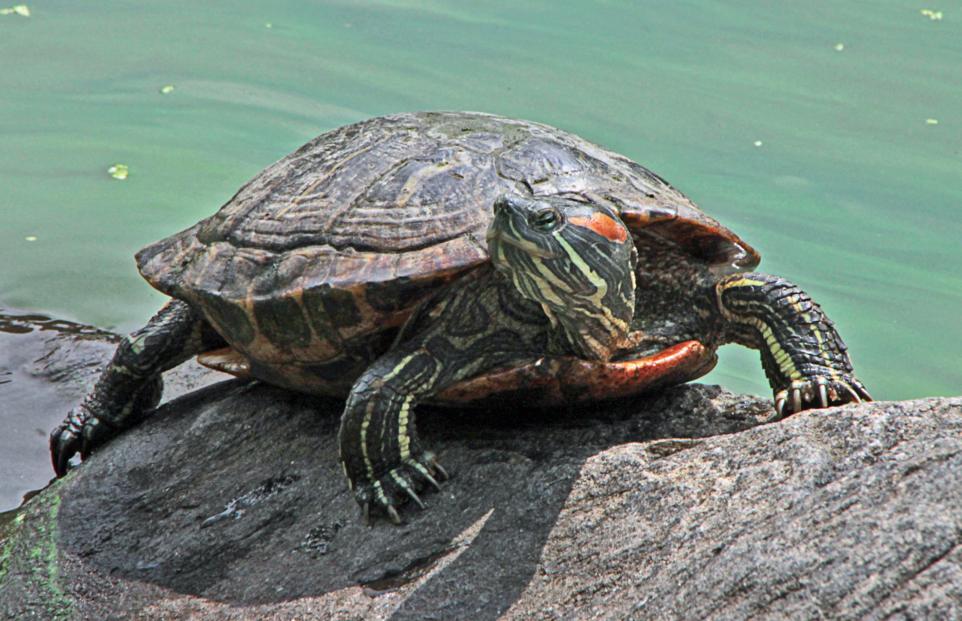 13 RED EARED SLIDER by Pam Sherren