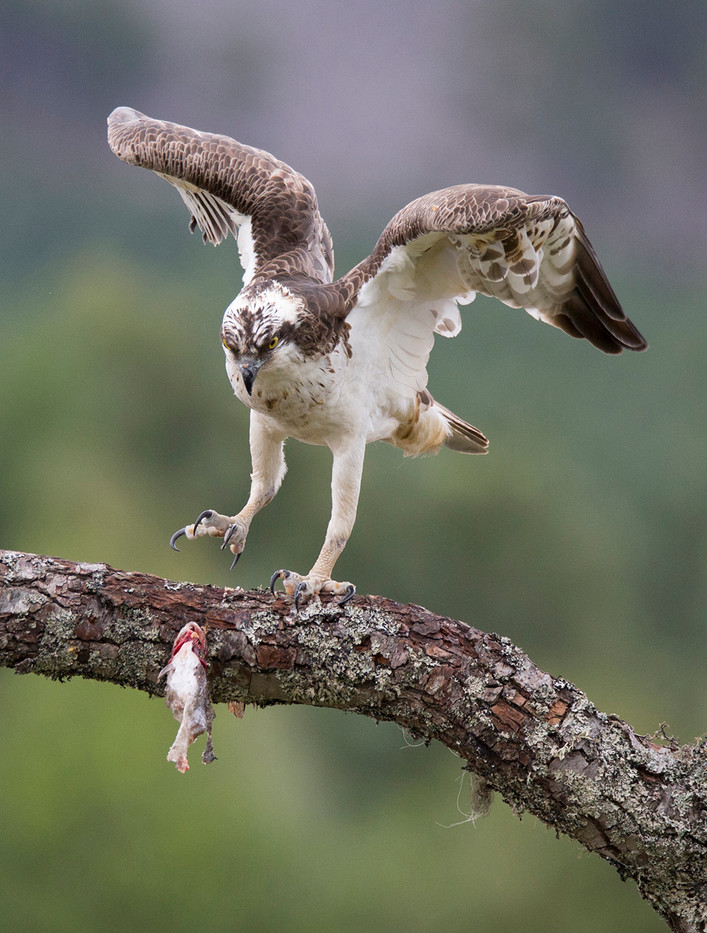18 OSPREY LOSING ITS CATCH by John Hunt