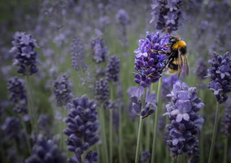 17 BEE IN LAVENDER FIELD by Tony Hill