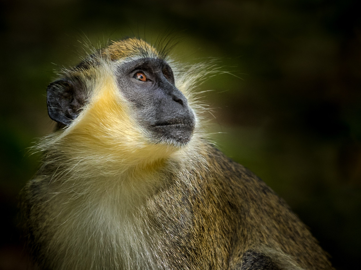 20 PORTRAIT OF A WILD GREEN MONKEY by David Godfrey